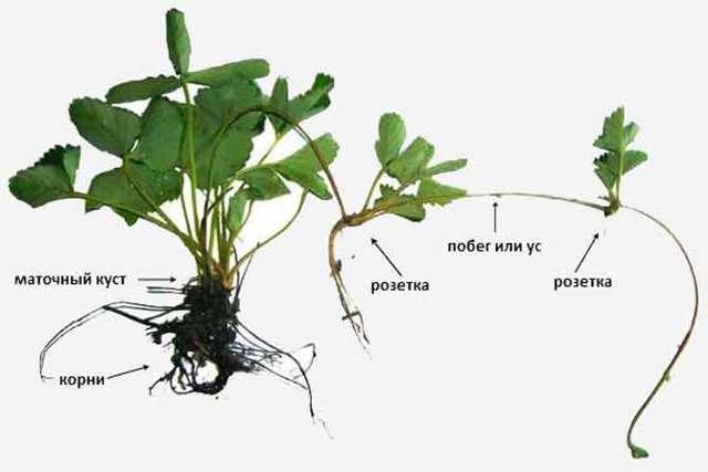 Выращивание клубники на даче в открытом грунте