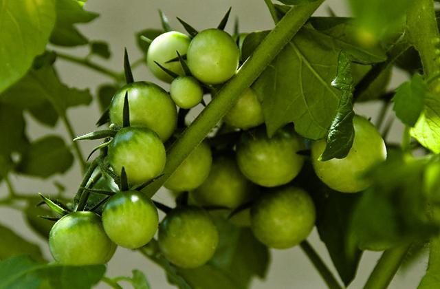 Можно ли есть зеленые помидоры: чем полезны и вредны для организма
