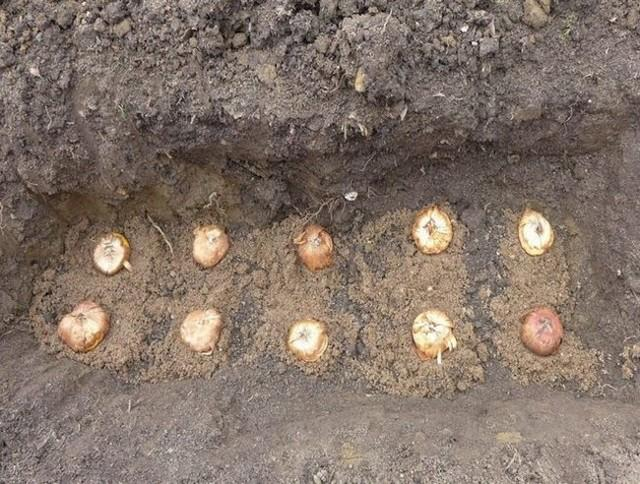 Посадка гладиолусов в открытый грунт и уход за ними