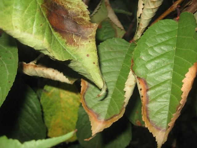 Желтеют листья у черешни: описание, фотографии, не распускаются почки, скручиваются листья, вредители черешни и борьба с ними