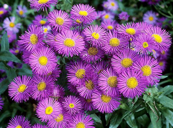 Почвопокровные многолетники, цветущие все лето