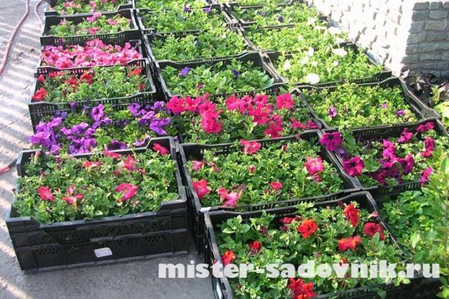 Как вырастить рассаду петунии дома