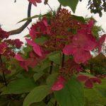 Гортензия метельчатая Вимс Ред: описание сорта, фото, отзывы, посадка и уход