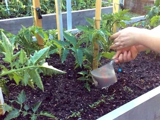 Подкормка из дрожжей для томатов и огурцов