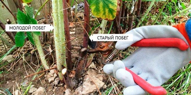Подкормка ремонтантной малины весной