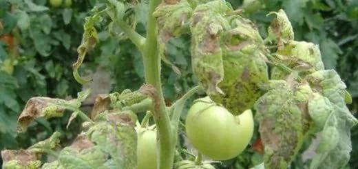Рассада помидор падает