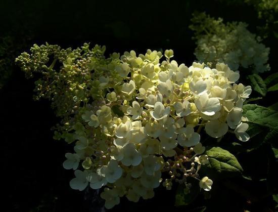 Метельчатая гортензия Грандифлора (grandiflora): фото, описание, отзывы, посадка и уход