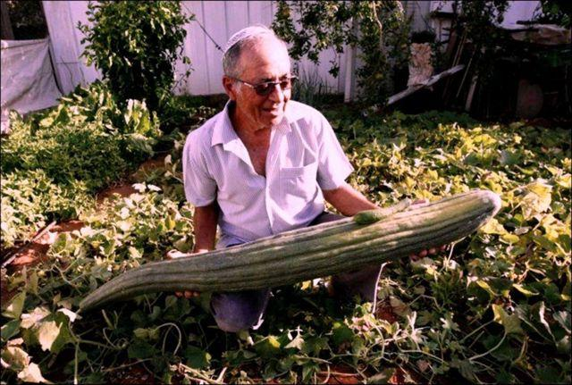 Дыня змеевидная (армянский огурец): как выглядит, выращивание из семян