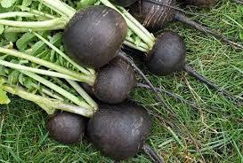 Черная редька: когда сажать в открытый грунт, как вырастить и получить семена