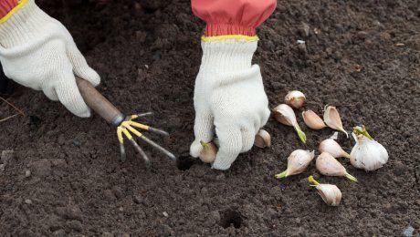 Грядки под чеснок осенью: правила подготовки