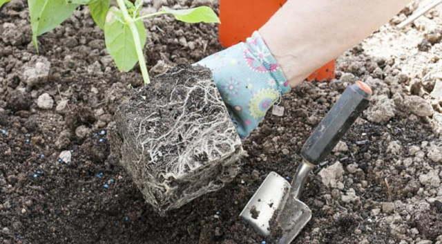 Мирабилис: выращивание из семян, когда сажать на рассаду