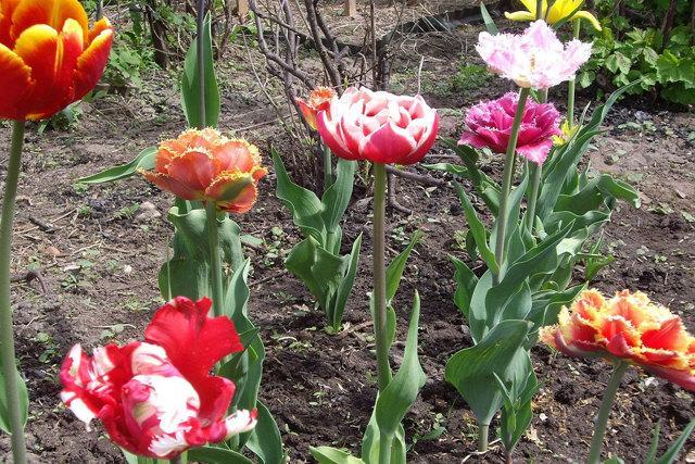 Когда сажать тюльпаны осенью: сроки посадки в Подмосковье, Сибири, Урале