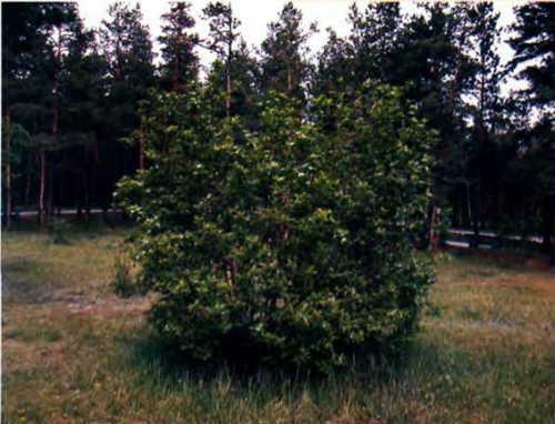 Боярышник мягковатый или полумягкий (crataegus submollis): описание и фото