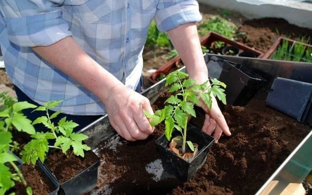 Томат Красный петух: отзывы, фото, урожайность