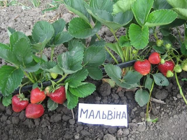 Клубника Мальвина: описание сорта, фото, отзывы