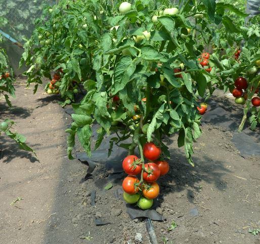 Томат Котя от Партнер: отзывы, описание сорта, урожайность, фото