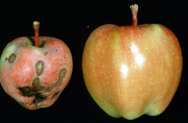 Парша на яблоне: фото, описание и лечение, как избавиться