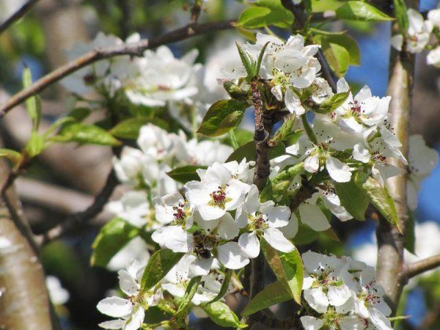 Груша Чудесница: описание сорта, фото, отзывы садоводов, опылители