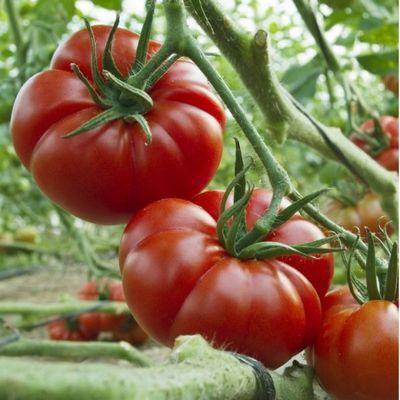 помидоры сорт марманде описание