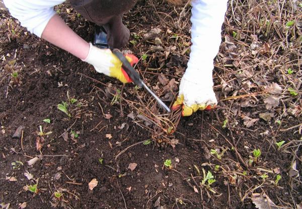 Обрезка клубники после сбора урожая: надо ли обрезать, схема и видео