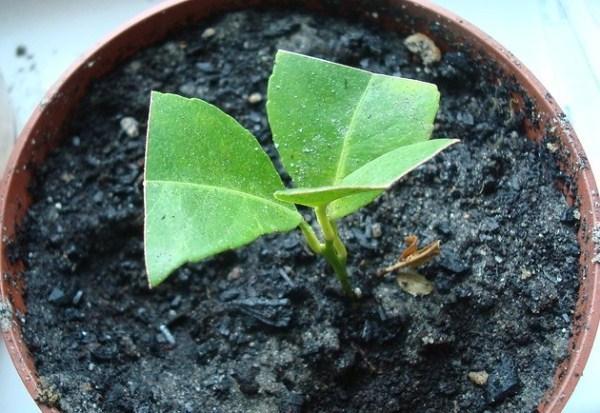 Лимон Мейера: описание сорта, выращивание, размножение, болезни