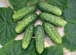 Огурец Лилипут f1: описание, отзывы о сорте, фото, выращивание