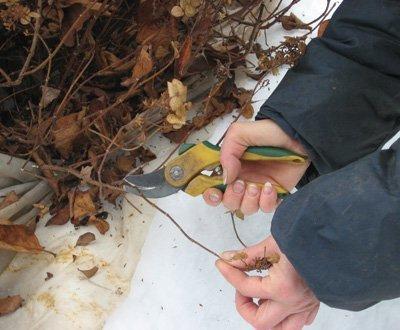 Гортензия осенью: подготовка к зиме