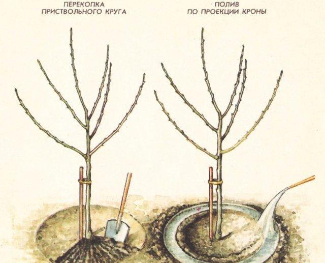 Груша Гера: описание сорта, фото, отзывы садоводов, опылители, выращивание