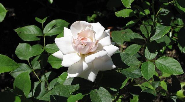 Посадка плетистой розы осенью: когда и как правильно посадить