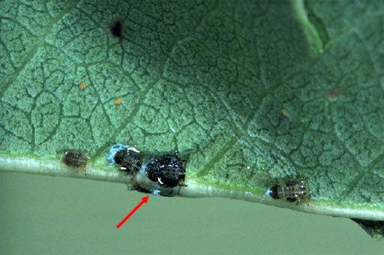 Грушевая медяница (листовертка) обыкновенная: описание, фото, способы борьбы