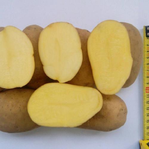 Картофель Рагнеда: описание сорта, фото, отзывы