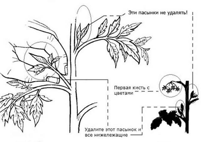 Формирование помидор в два стебля + фото