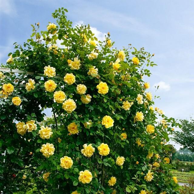 Розы плетущиеся: сорта + фото