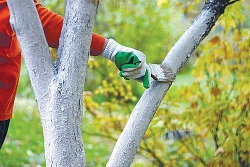 Лишайник и мох на плодовых деревьях: как избавиться, способы борьбы