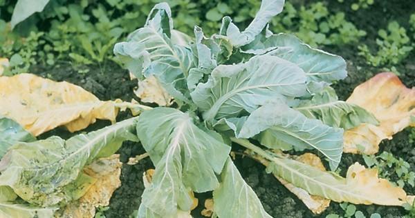 Почему желтеет рассада капусты