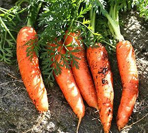 Выращиваем морковь с тупым концом
