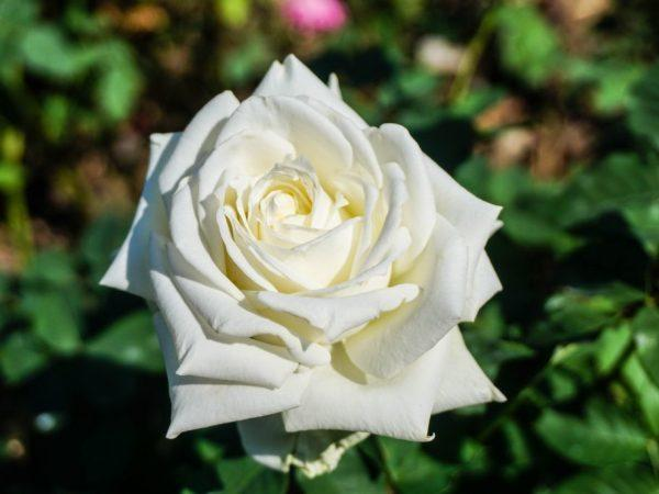 Подкормка роз осенью: чем удобрять, подготовка к зиме