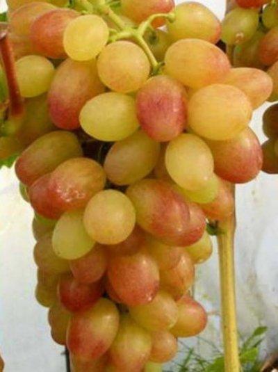 Виноград Тасон: описание сорта, фото, отзывы