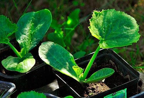 Посадка кабачков рассадой в открытый грунт
