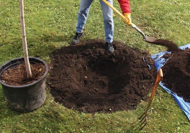 Как сажать черешню в открытом грунте весной, осенью, пошаговое руководство