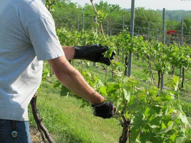 Виноград Низина: описание сорта, фото, отзывы, видео