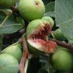 Инжир Сабруция розовая: описание, фото, отзывы