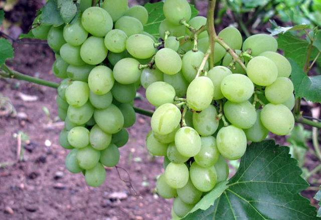 Виноград Алешенькин: описание сорта, фото, отзывы