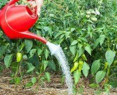 Сажаем рассаду перцев для открытого грунта