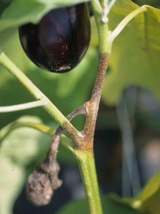 Болезни и вредители на рассаде баклажан