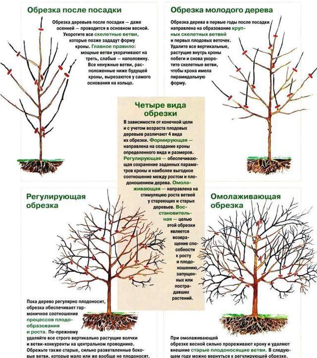 Обрезка плодовых деревьев зимой: сроки, схемы