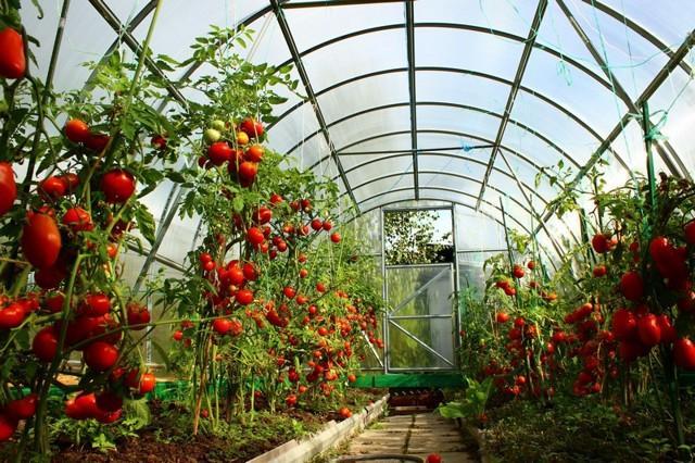 Суперранние сорта томатов для теплиц