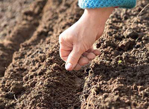 Георгины Веселые ребята: когда сажать, выращивание и уход, фото
