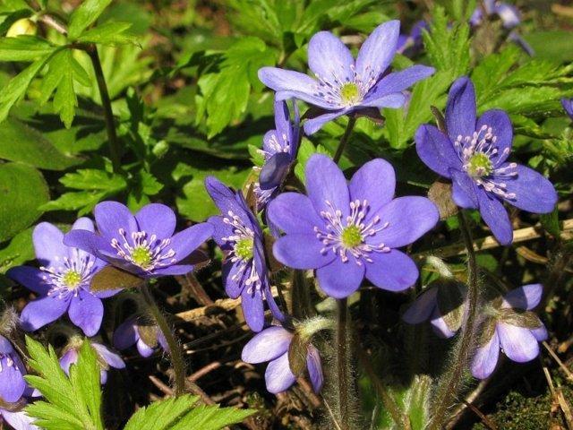 Теневыносливые однолетники: цветы, растущие в тени и цветущие все лето