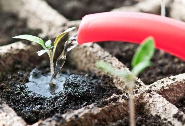 Подкормка рассады петунии: чем подкормить, как правильно